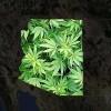 Arizona group files initiative to legalize marijuana