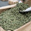 Strong Marijuana Harvest Will Drive Down Prices