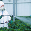 Can pesticides be eliminated from commercial marijuana grows?