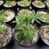 Marijuana Growers Hit A Snag: Toxic Pesticides