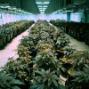 Marijuana Producers Gobble Up Warehouse Space in Denver Area