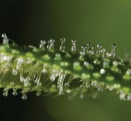 What are the Cannabis Terpenes?