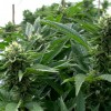 DEA Delays Marijuana Rescheduling Announcement