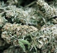Marijuana Policy Highs: The Top Pot Stories Of 2011