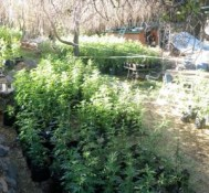 Two men accused of growing marijuana in national forest