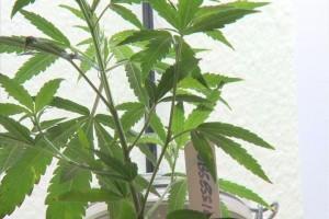 marijuana cannabis plant hbtv hemp beach tv
