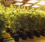 Robbers Steal Marijuana From Portland Grow House