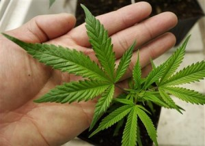 File photo of a medical marijuana starter plant