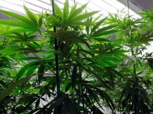 marijuana jghfdhd