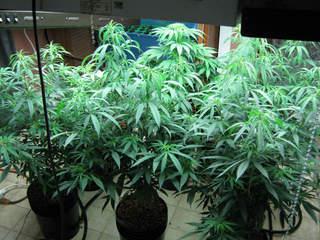 oregon marijuana hbtv hemp beach tv 1325