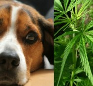 Medical marijuana for your pet?