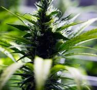 Denver council approves 5 percent marijuana tax