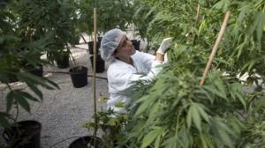 canadian marijuana hbtv hemp beach tv