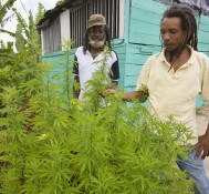 Lawmakers in Jamaica debate decriminalization of marijuana for personal use