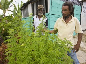 jamaica marijuana hbtv hemp beach tv