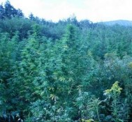 Marijuana eradication wanes as funds dry up