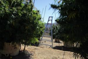 outdoor marijuana garden california hbtv hemp beach tv