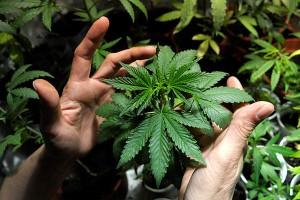 marijuana plant cannabis ganja hbtv hemp beach tv