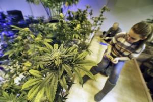 washington dc legal marijuana hbtv hemp beach tv