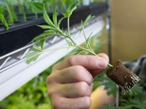 medical marijuana clone hbtv hemp beach tv