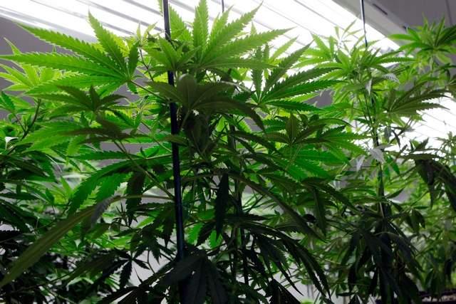 indoor marijuana plant grow cannabis hbtv hemp beach tv