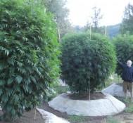 Marijuana legalization effort begins in California