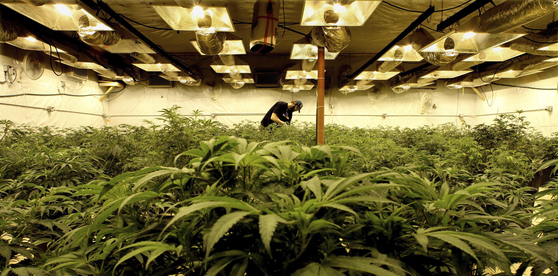 Image result for Cannabis Colorado