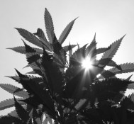 Marijuana advocate ousted from church