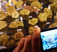 Epic marijuana fair flowers in Wine Country